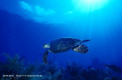 Hawksbill Turtle, Little Cayman by Marc Montocchio 